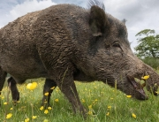 the-parable-of-catching-wild-pigs